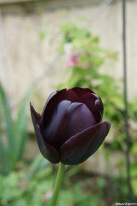 tulip 'queen of night', spring flowering bulb, black flower