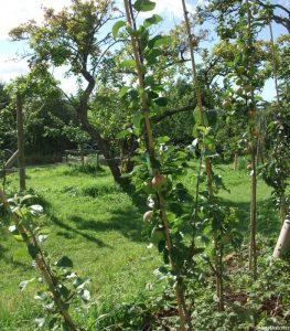cordon apples, orchard, acorn bank garden, heritage apple varieties, cumbria, national trust