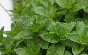 marjoram, origanum majoranum, oregano, perennial herb, culinary herb