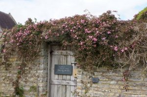 clematis montana'freda' , garden wall, lytes carey manor house, national trust, somerset