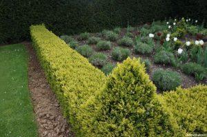 lavender garden, lavendula x intermedia 'grosso', box hedging, spring flowering tulips, lytes carey manor house, national trust, somerset