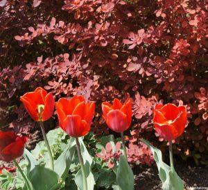 red tulips, berberis, lytes carey, herbaceous border, lytes carey manor house, national trust, somerset