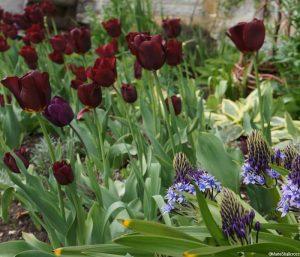 garnet red tulipa 'havran', blue scilla peruviana, flower border, lytes carey manor house garden, national trust, somerset
