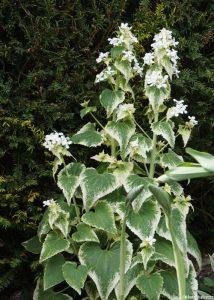 variegated white honesty , garden, Lytes Carey, manor house, national trust, somerset