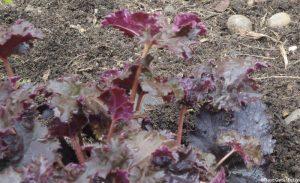 Heuchera 'chocolate ruffles', herbaceous perennial