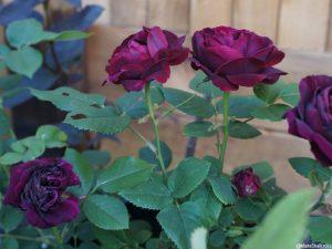 Rosa 'black baccarat', scented flower, deciduous shrub