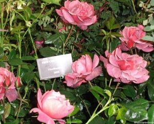 Rosa 'hot chocolate', Novelty Rose of the Year 2006 award