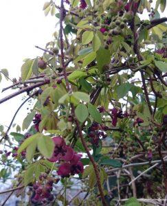 chocolate vine, akebia quinata, perennial climber