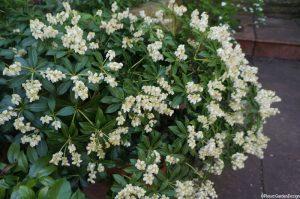 choisya aztec pearl, mexican orange blossom, scented evergreen shrub