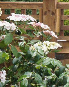 lacecap hydrangeas, white flowered, pink flowered, deciduous shrub, garden fence