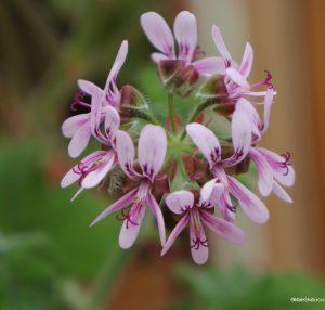 pelargonium 'chocolate peppermint' flowers, scented leaved pelargonium, tender perennial
