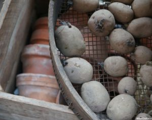 chitting potatoes, clay pots, garden sundries, potting shed
