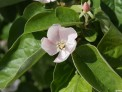 quince blossom, Cydonia oblongata, fruit tree, grow your own
