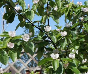 quince tree in blossom, Cydonia oblongata, fruit tree, grow your own