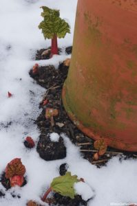 rhubarb forcing pot and young rhubarb in snow, grow your own