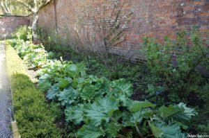 rhubarb, walled kitchen garden, Trengwainton, Cornwall, Cornish gardens