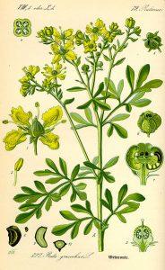 Ruta graveolens, Rue, herb of grace, illustration, Flora von Deutschland, Wikimedia commons