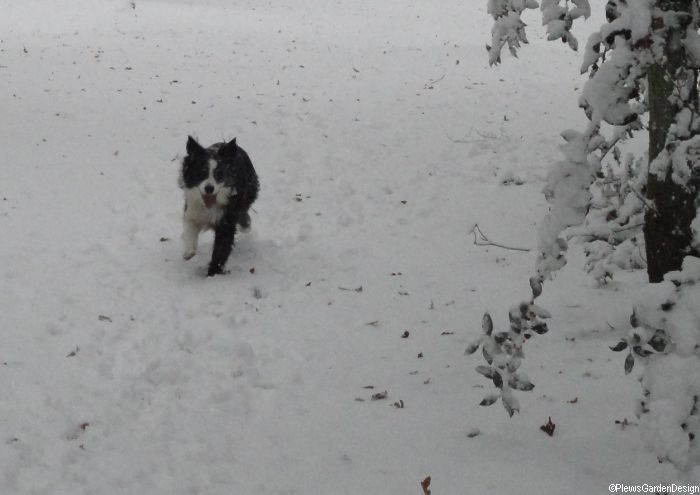 sharpe, border collie playing in a snowy winter garden