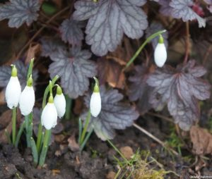 snowdrops and heuchera