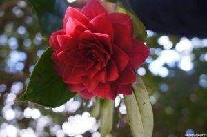 Camellia japonica 'Imbricata rubra', evergreen shrub, Trebah gardens, cornwall, red flowers