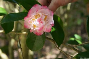 Camellia japonica 'Tomorrow Variegated', fused calyx, evergreen shrub, Trebah gardens, Cornwall, white flowers, edged with pink
