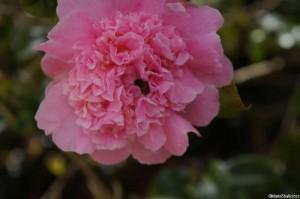 Camellia x williamsii 'elsie jury', evergreen shrub, Trebah gardens, Cornwall, pink double peony form flowers