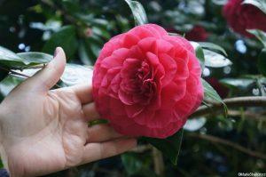 Camellia japonica 'grand sultan', evergreen shrub, Trebah gardens, Cornwall, red flowers