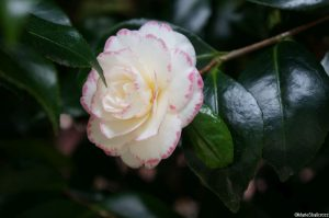 Camellia japonica 'Margaret Davis Picotee', evergreen shrub, Trebah gardens, Cornwall, white flowers, edged pink
