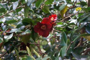 Camellia 'macdonalds seedling', evergreen shrub, Trebah gardens, Cornwall, red flowers
