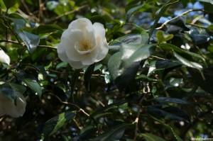 Camellia x williamsii 'china clay', evergreen shrub, Trebah gardens, cornwall, white flowers