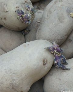 chitted potatoes -loose, showing sprouted eyes, grow your own vegetables