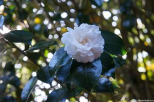 double white camellia bush