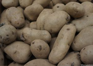 potato tubers, international kidney variety, chitting potatoes, grow your own vegetables
