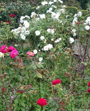 red roses, white roses, pink roses in the walled garden, brockwell park, Lambeth