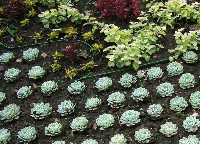 Bedding Plants Carpet, Best Bedding Plants For Scotland