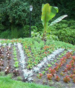 bedding scheme, northern france, hardy banana, begonias, cinneraria, bedding plants