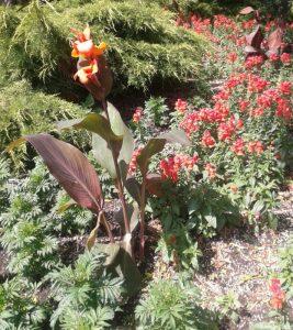 canna, spot plant, bedding scheme, bedding plants, marigolds