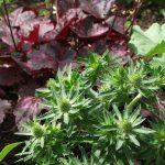 eryngium and heuchera, herbaceous perennials