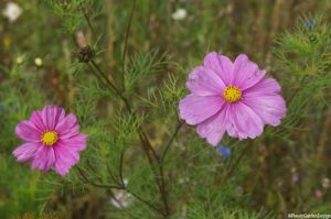 pink cosmos, annual, summer bedding plants