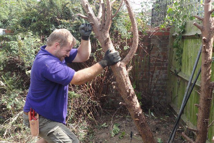 Nathan taking out conifer tree stump after hard pruning, landscape gardener, garden design, garden project, garden clearance, conifer removal