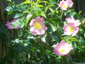 Rosa canina, dog rose, native species, scented pink flowers