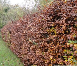 beech hedge, winter, deciduous, fagus sylvatica