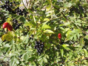 sweet briar rose, sweetbrier, eglantine, rose hips, Rosa rubiginosa, Rosa eglanteria, aromatic foliage, hawthorn hedge, crataegus, berries