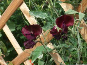 sweet pea, dark purple flower, scented, growing through trellis