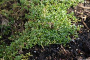 thymus serpyllum, creeping thyme, aromatic foliage, evergreen herb, ground cover