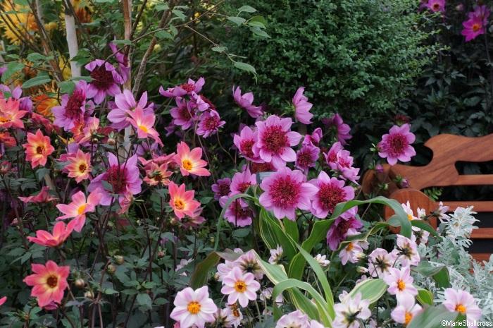 Understanding Dahlias | Plant Facts | Gardening Advice ...