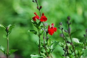salvia, planting, St Christophers Memory Garden 2016, Plews Garden Design, Plews Garden Landscaping, London