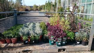 sourcing plants at trade nursery, plews garden design, memory garden, st christophers hospice, plews garden landscaping