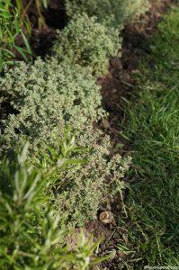 thyme silver posie, rosemary, planting design, St Christophers Memory Garden 2016, Plews Garden Design, Plews Garden Landscaping, London