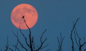 strawberry moon 2016, photo by Patrick Pleu, summer solstice, guardian newspaper, rutland water